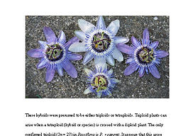 Passiflora hybrid cytometry