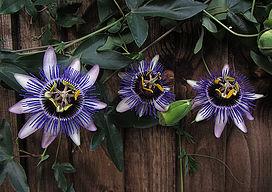 Riverside free flowering