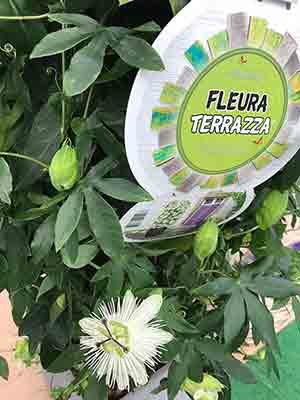 Riverside Passiflora Snow Queen FleuroTerraza