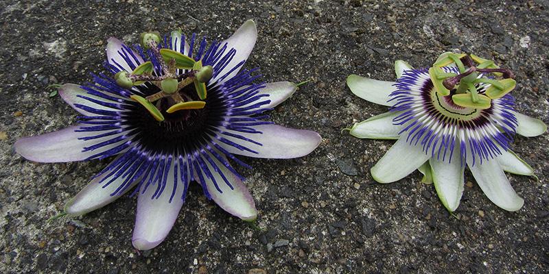 Passiflora 'Damsel's Delight' Riverside hybrid