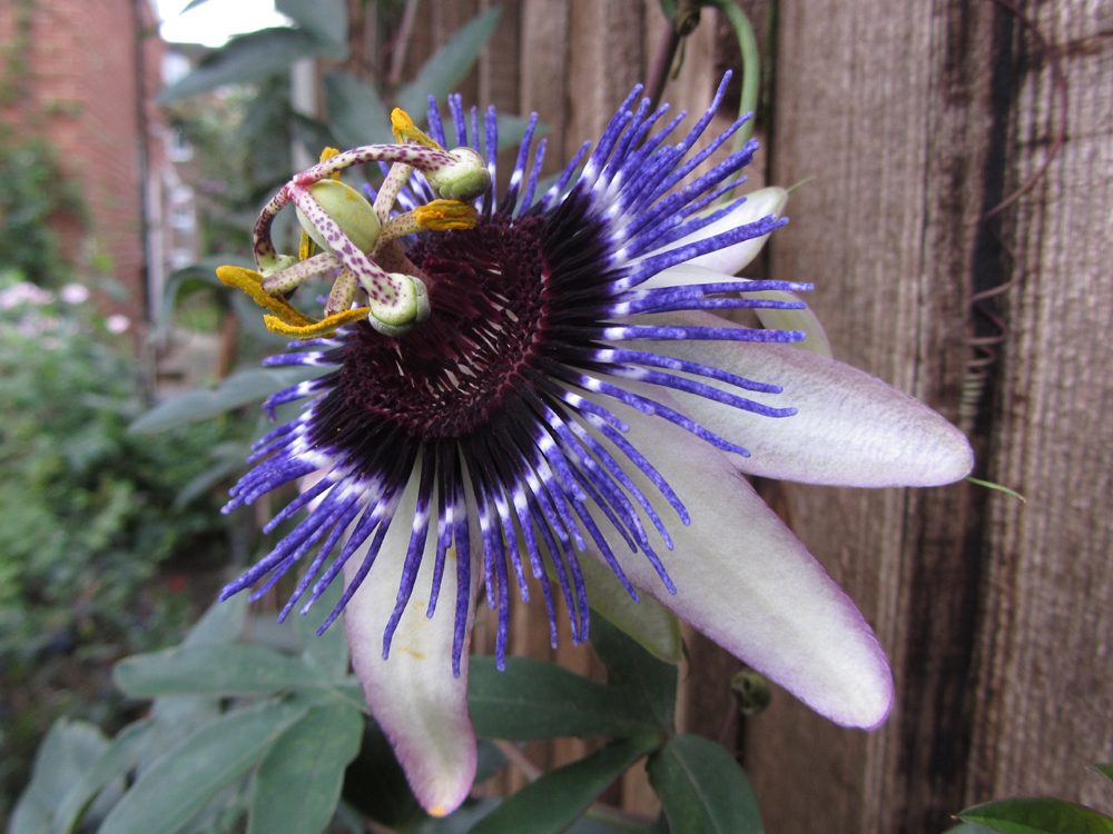 passiflora-damsels-delight-front