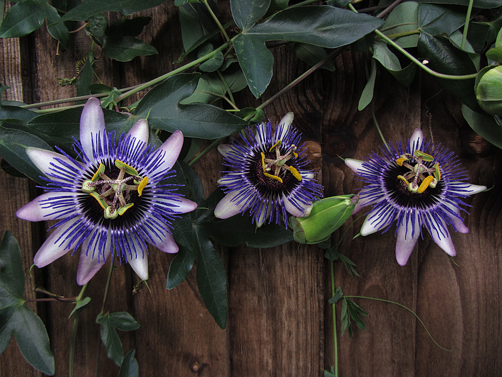 passiflora-damsels-delight-group