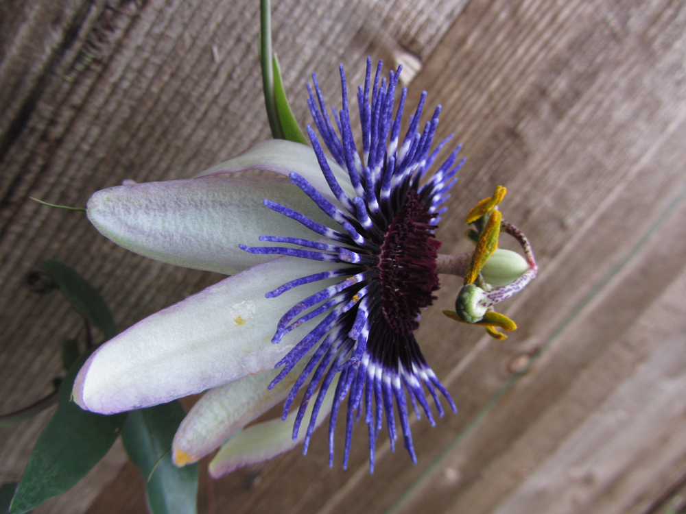 passiflora-damsels-delight-side-view