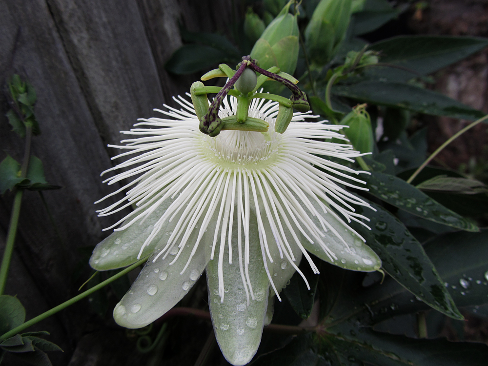 passiflora-snow-queen-main