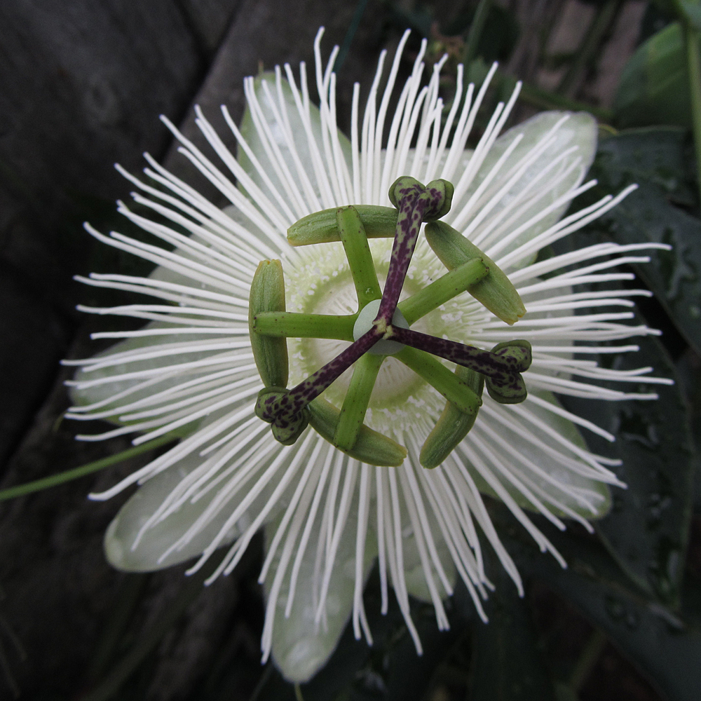 passiflora-snow-queen-top