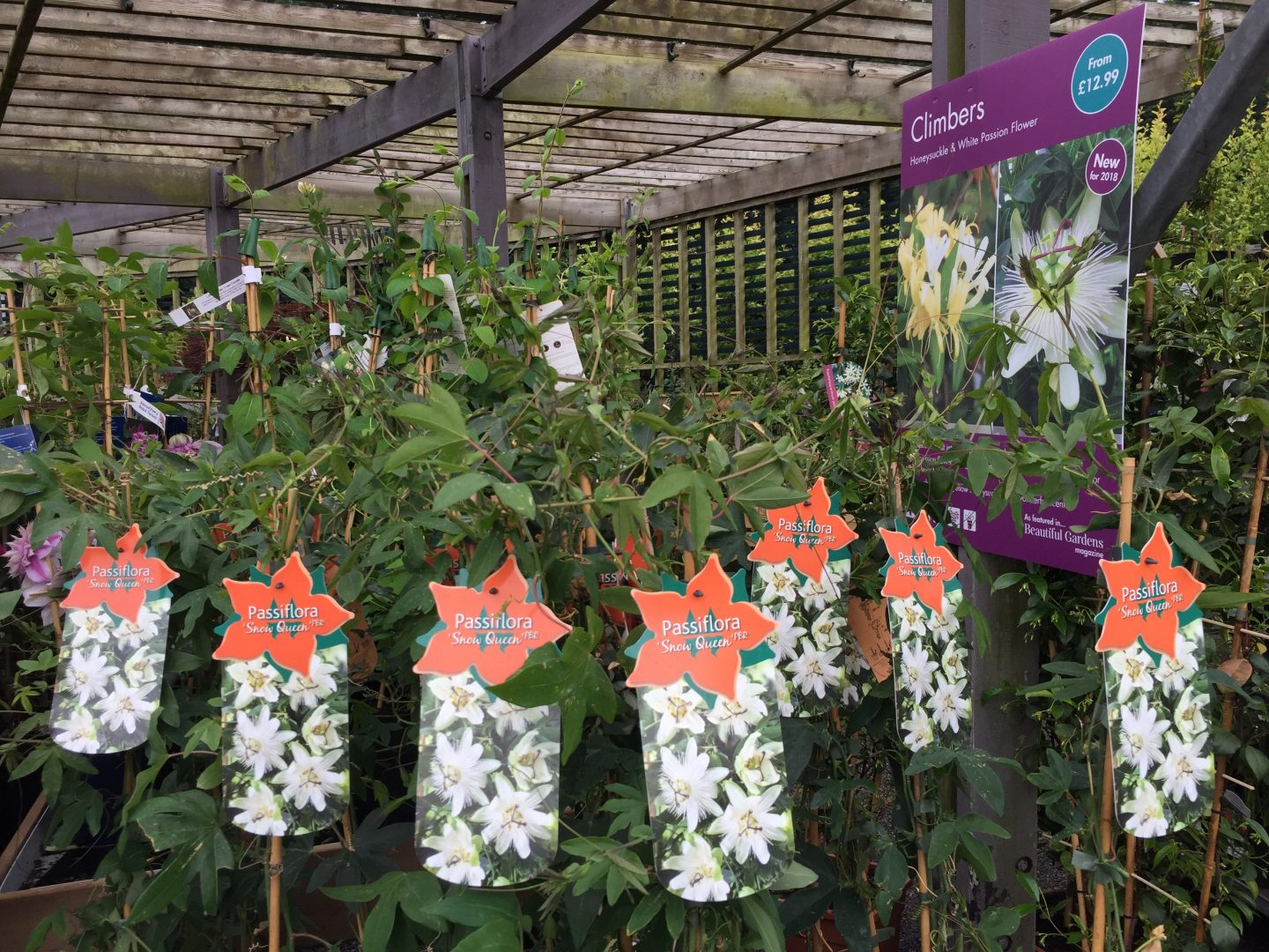 Passiflora Snow Queen at Squires Garden Centre