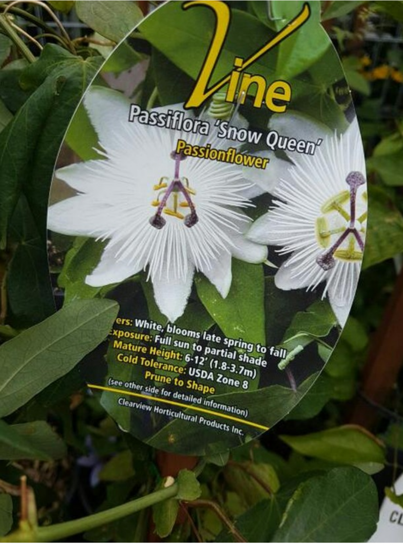 Passiflora snow queen Clearview