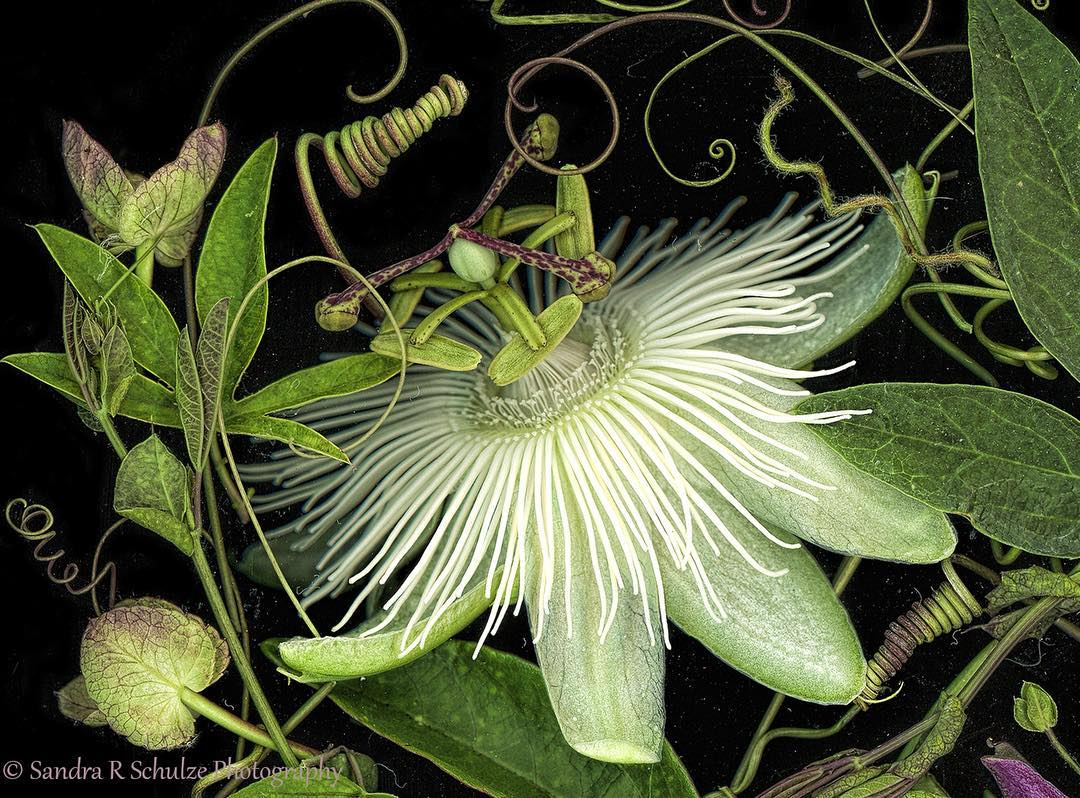 Sandra Schulze Passiflora Scan Snow Queen