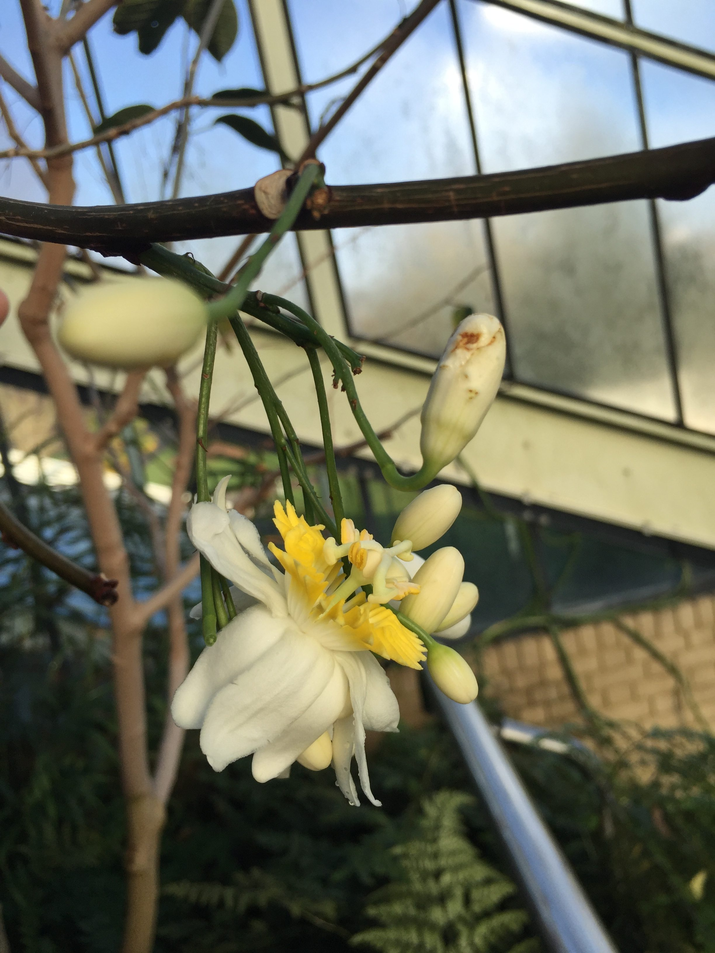 Passiflora emarginata